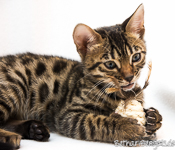 Bengalkatze rosetted