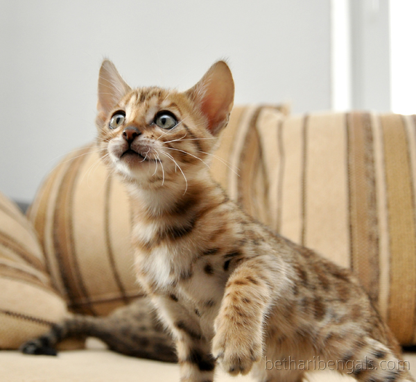 Bengal Kitten rosetted