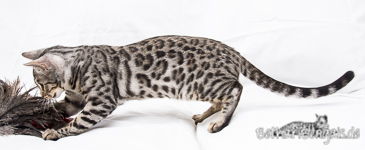 Silber rosetted Bengal Cat