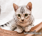 Silber rosetted Bengal