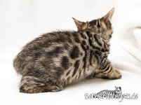 brown rosetted Bengal
