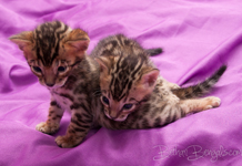 Bengal Katze rosetted