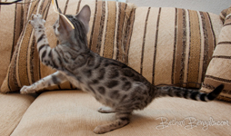 Bengal cat silber rosetted