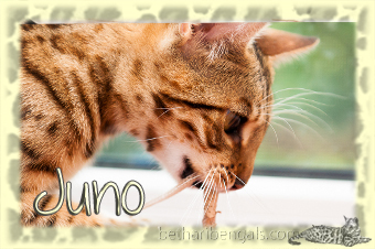 rosetted Bengal Juno