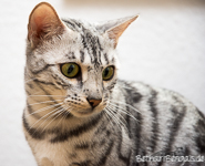 Bengal silber rosetted