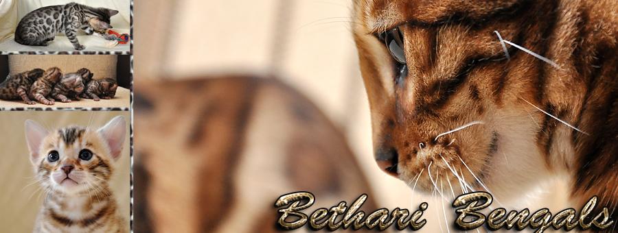 Bethari Bengals Zucht